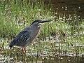 Butorides striata Garcita rayada Striated Heron (6230436790).jpg