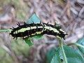 Butterfly Caterpillar, Sha Tin, Hongkong 2006.jpg