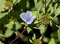 Butterfly Common blue - Polyommatus icarus 02.jpg