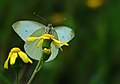 Butterfly Pieris rapae - Small White.JPG