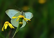 Butterfly Pieris rapae - Small White.JPG