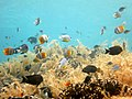 Butterflyfishes (10020575445).jpg