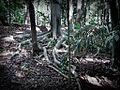 Buttress Roots (5156251514).jpg