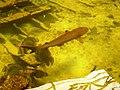 Cá mập vây lưng đen Nhà Trang.jpg