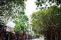 Cây cổ thụ trên vỉa hè phố Tuệ Tĩnh, thành phố Hải Dương, tỉnh Hải Dương.jpg