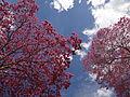 Céu de flores.JPG