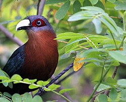 CHESTNUT-BREASTED MALKOHA (7237366016).jpg