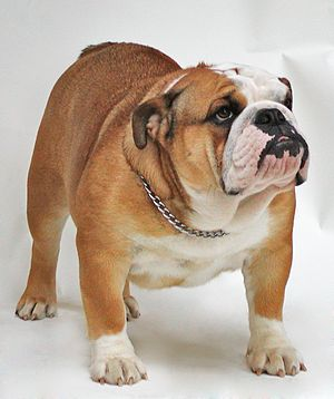 Bulldog - Image: CH Buck and Sons Evita Peron