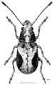 COLE Anthribidae Isanthribus proximus f.png