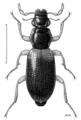 COLE Hydraenidae Orchymontia banksiana.png