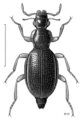 COLE Hydraenidae Podaena maclellani.png