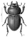 COLE Lucanidae Geodorcus auriculatus f.png