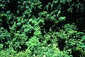 CSIRO ScienceImage 1371 Rainforest Canopy.jpg
