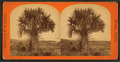Cabbage Palmetto, from Robert N. Dennis collection of stereoscopic views.png