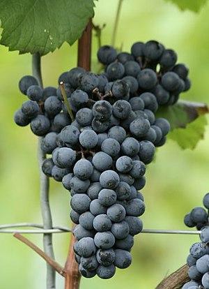 Cabernet Mitos - Cabernet Mitos grapes