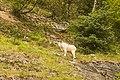 Cabra blanca (Oreamnos americanus), Bocana de Chilkoot, Skagway, Alaska, Estados Unidos, 2017-08-18, DD 102.jpg