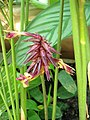 Calathea ornata 'Sanderiana' Kalatea 2010-08-01 01.jpg