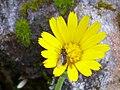 Calendula arvensis InflorescenceandFly 2010-3-21 SierraMadrona.jpg