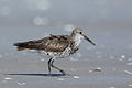 Calidris tenuirostris - Great Knot.jpg
