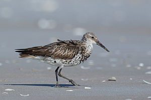 Great knot - Breeding