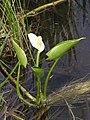 Calla palustris 6 (5097833330).jpg