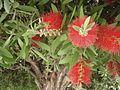 Callistemon citrinus (6728167189).jpg
