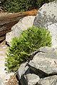 Calocedrus decurrens sapling Roaring River Falls.jpg