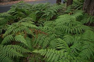Dicksoniaceae - Calochlaena dubia