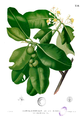 Calophyllum inophyllum Blanco2.256.png