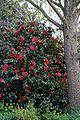 Camellia japonica 'Rubescens Major' at RHS Garden Hyde Hall, Essex, England 05.jpg