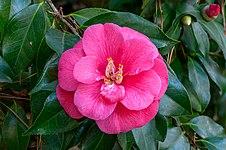 Camellia japonica NBG.jpg