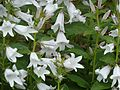 Campanula latifolia alba - Flickr - peganum (1).jpg