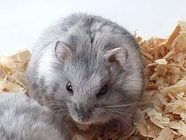 Campbell hamster blue fawn.jpg