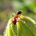 Camponotus floridanus worker on plant.jpg