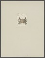 Cancer tyche - - Print - Iconographia Zoologica - Special Collections University of Amsterdam - UBAINV0274 094 14 0010.tif