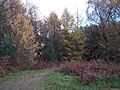 Cannock Chase in Autumn - geograph.org.uk - 285689.jpg