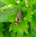 Cantharis nigricans. Soldier Beetle.Cantharidae. - Flickr - gailhampshire.jpg