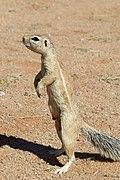Cape Ground Squirrel.jpg