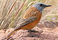 Cape Rock Thrush, Monticola rupestris at Marakele National Park, South Africa (13936072177).jpg