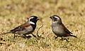 Cape Sparrow, Passer melanurus at Walter Sisulu National Botanical Garden, Johannesburg, South Africa (14541466587).jpg