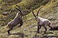 Capra ibex -Ceresole Reale, Turin Province, Italy-8 (3).jpg
