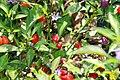 Capsicum frutescens Bolivian Rainbow 2zz.jpg