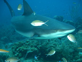 English: A Caribbean reef shark photographed a...