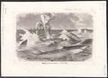 Carcharias glaucus - 1700-1880 - Print - Iconographia Zoologica - Special Collections University of Amsterdam - UBA01 IZ14100019.tif