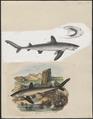Carcharias glaucus - 1700-1880 - Print - Iconographia Zoologica - Special Collections University of Amsterdam - UBA01 IZ14100025.tif