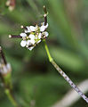 Cardamine hirsuta, kleine veldkers (1).jpg