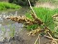 Carex paniculata inflorescens (06).jpg