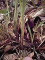 Carex sylvatica plant (13).jpg