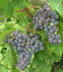Carmenere grapes close.JPG