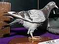 Carrier pigeon (taxidermied) 2014 CP+.jpg